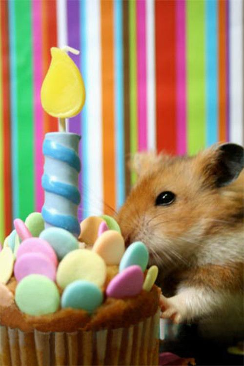 Hamster With Birthday Cupcake
