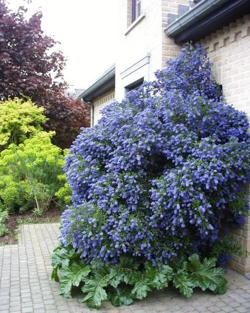 9 best ceanothus images on pinterest california lilac for Tall flowering shrubs