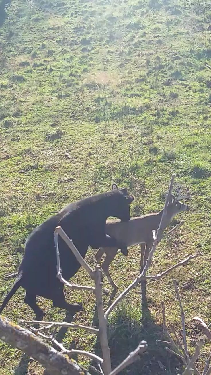 The struggles of using a deer decoy in cattle country! By the way, the decoy wasn't able to support the weight of it's new friend.