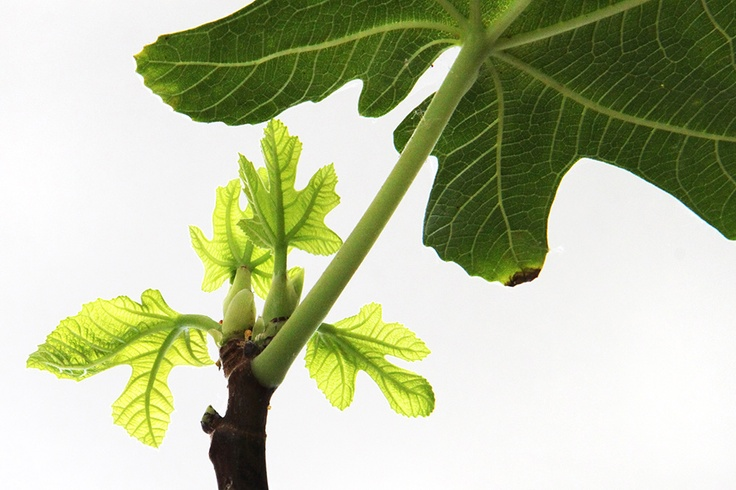 new fig leaves  (mary jo hoffman)