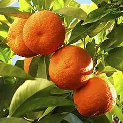 Large Orange 'Navelina' Tree