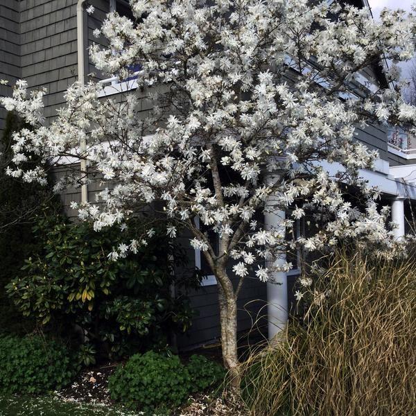 Royal Star Magnolia Tree New Blooms Nursery In 2020 Magnolia Trees Specimen Trees Ornamental Trees