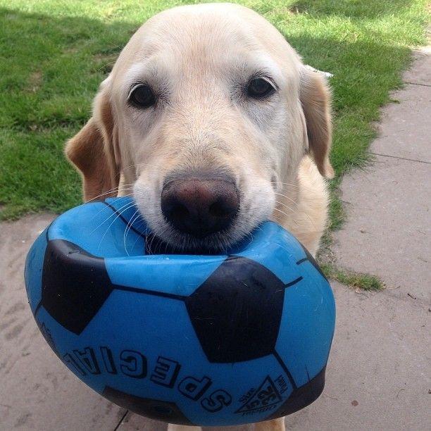 Un cane riporta la palla (bucata) al suo padrone