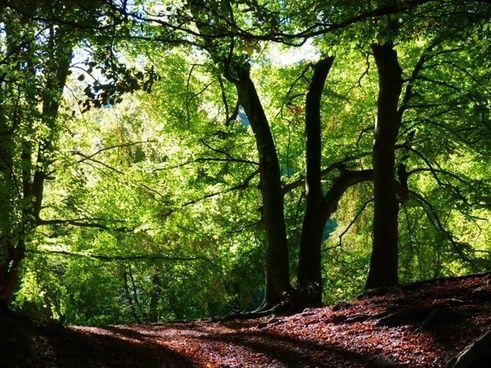 forest beech book