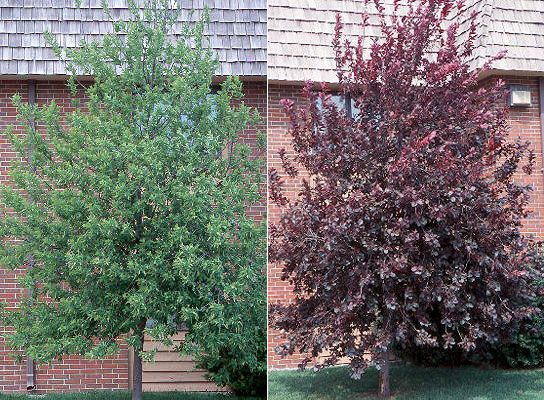 Canada Red Cherry Tree - Green Leaves with White Flowers Turn to Deep Purple in Summer