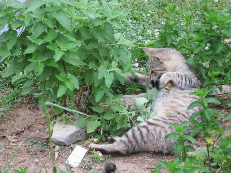 ¿Por qué los gatos adoran el catnip o hierba gatera?