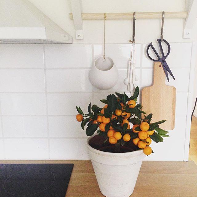 Jag har precis uppdaterat mitt cv med clementinodlare. Min karriär som odlare började igår. Jag hoppas på en lång och framgångsrik karriär. Förhoppningsvis veckan ut. #clementin #träd #citrus #växt #kök #äta #återbruk #redskap #nordiskahem #interior #homedecore #detaljer #inspiration #home