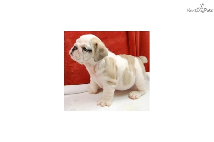 I am a cute English Bulldog puppy, looking for a home on NextDayPets.com!