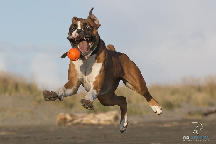this is so cute lol: Perfect Time Photo, Photos, Ball, Animal Pictures, Boxers Dogs, Animal Photography, Dogs Boxers, Funny, Happy Dogs