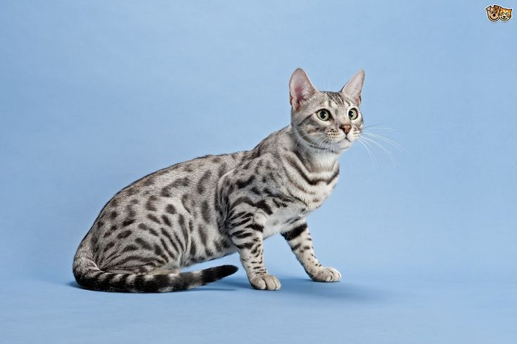 white bengal cat - Google Search