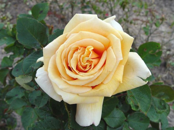 """"""" Lady Huntingfield """" - Pernetiana, hybrid tea rose - Golden-yellow - Deep apricot ageing pale flesh - Strong fragrance - Alister Clark (Australia), 1939"""