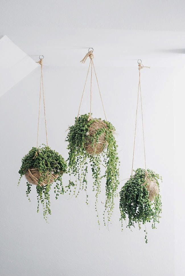House Plant: String of Pearls. (I have this plant - super easy to maintain)
