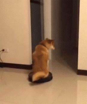 柴犬だってお掃除ロボットに乗れるしターンも決めるし退場もする。 : カラパイア