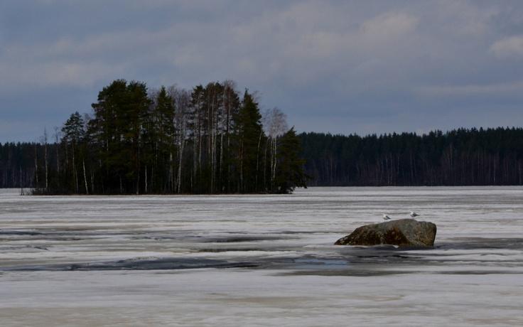 Kalalokit Rutajärvellä huhtikuussa 2012.