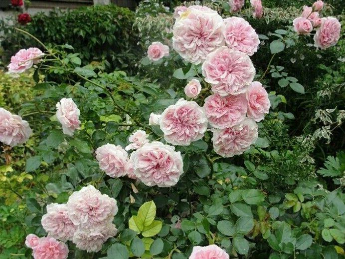 les 25 meilleures images du tableau variétés fleurs sur pinterest