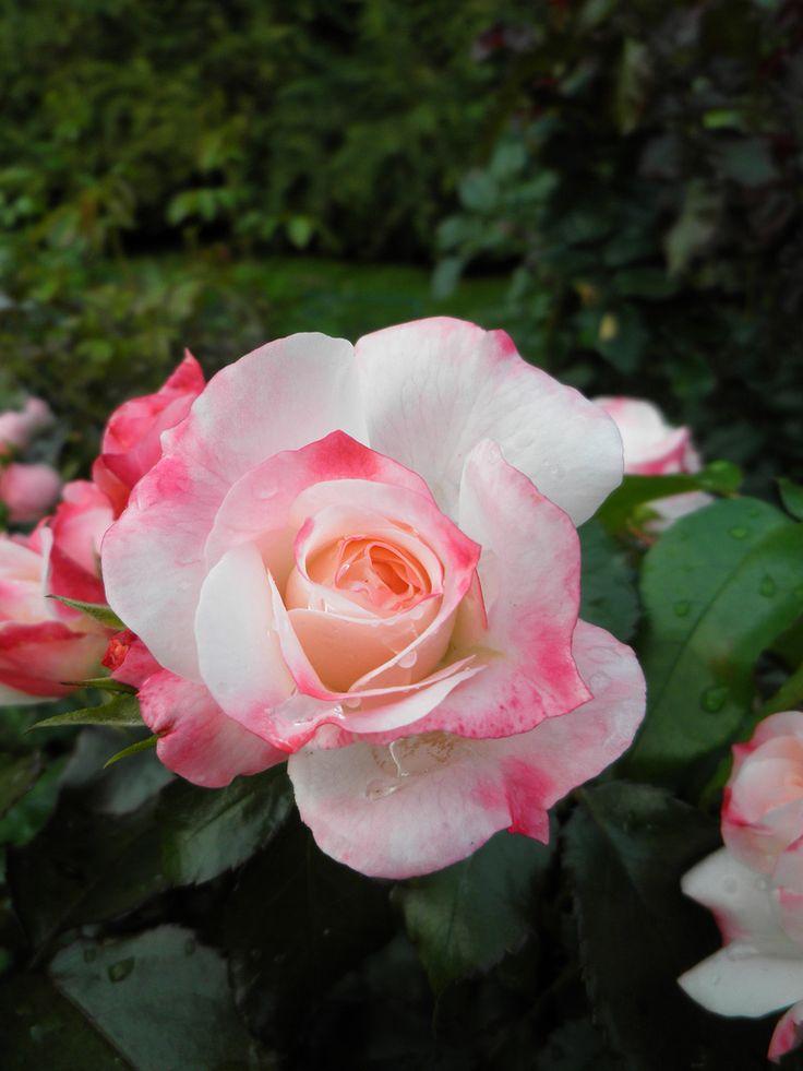 17 best images about roses on pinterest hybrid tea roses. Black Bedroom Furniture Sets. Home Design Ideas