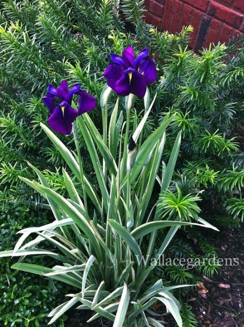 Variegated Iris (perennial): for full shade, thrives in moist soil, deer proof.