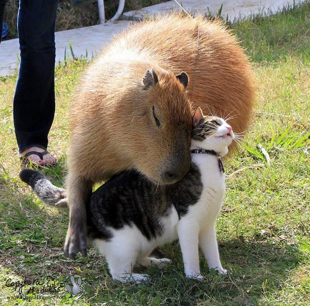Capybaras live in South America and are the world's largest rodent, sometimes reaching weights up to 150 lbs. They kind of look like giant guinea pigs, and they are adorable. Especially when they are affectionate with a cat. ♥