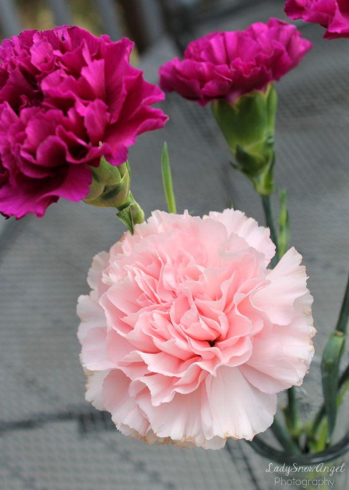 Light Pink Carnation Pansies Flowers Carnation Flower Carnation Plants