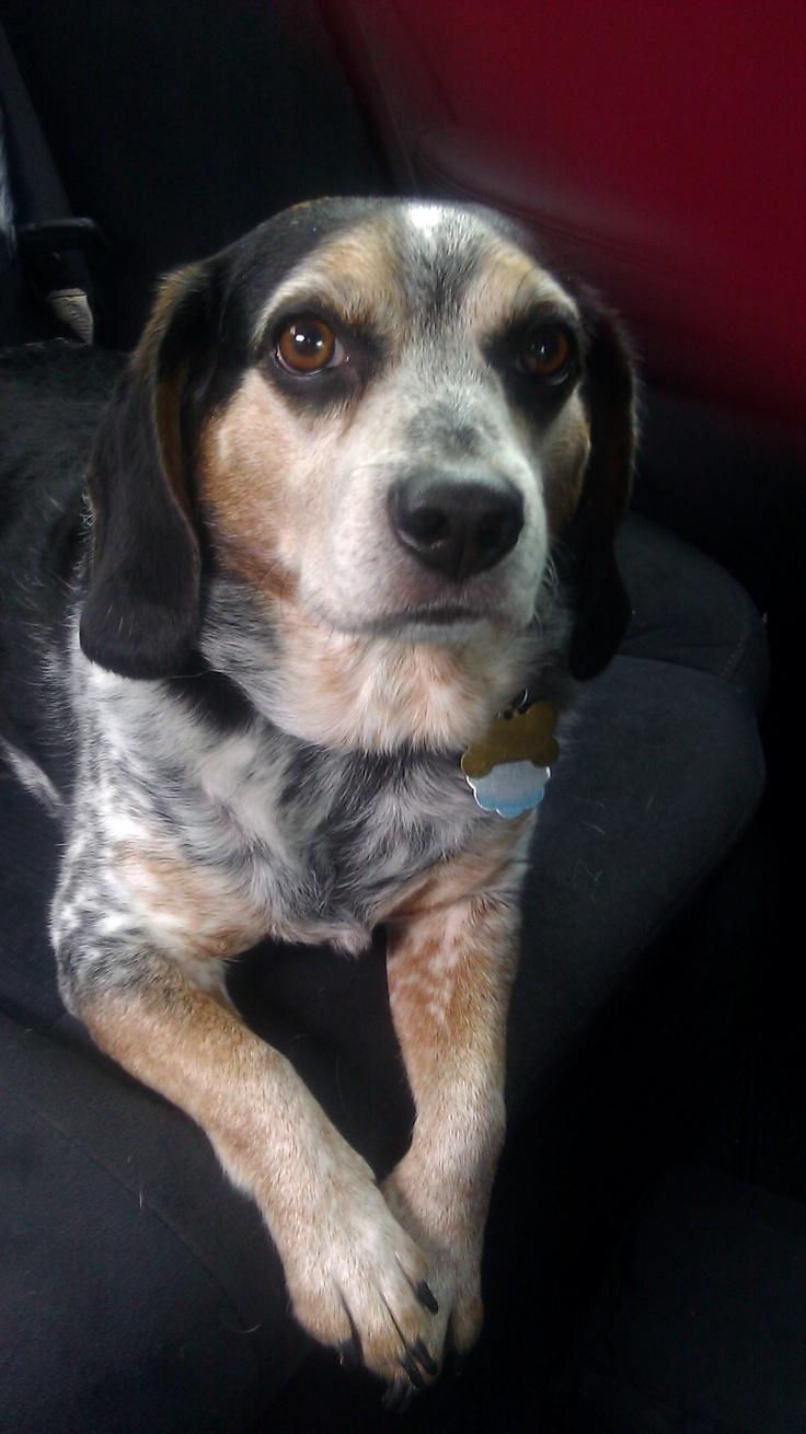 If I don't have a blue tick beagle, then I failed.