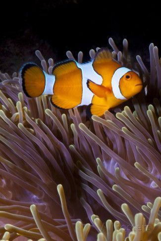 Anemonefish and Sea Anemone (Heteractis Magnifica), Southern Thailand