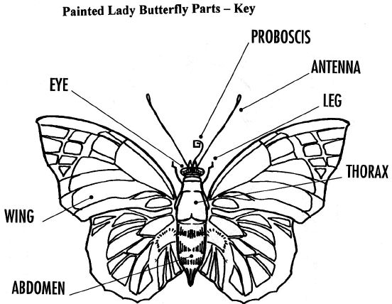 Butterfly parts worksheet - photo#18