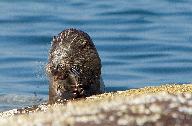 Week in Wildlife: Sea Otter, Scotland, U.K.