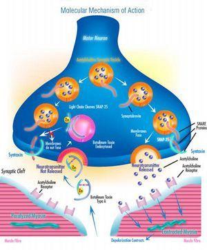 Clostridium botulinum neu2011 - MicrobeWiki