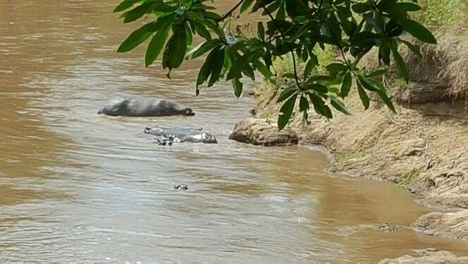 Hippos at camp in Governors Camp Maasai Mara