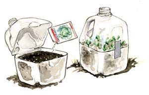 Milk Jug Seed Starters: This simple technique was developed for seeds that need to spend a winter outside before they will germinate, but it's also a great method to start garden seeds in late winter if you don't have indoor lights or a cold frame.