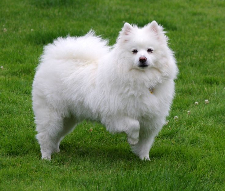Right breed for you? American Eskimo Dog information including personality, history, grooming, pictures, videos, how to find a American Eskimo Dog and AKC standard.