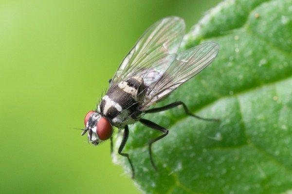 Les huiles essentielles pour chasser les mouches