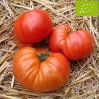Tomate Russe Rouge Bio - Tomate tardive, à très gros fruit de 350 à 600 g en moyenne (observée jusqu'à 1 kg). Chair dense, tendre, sucrée, juteuse, très parfumée (au goût musqué), à farcir, en sauce, purée.