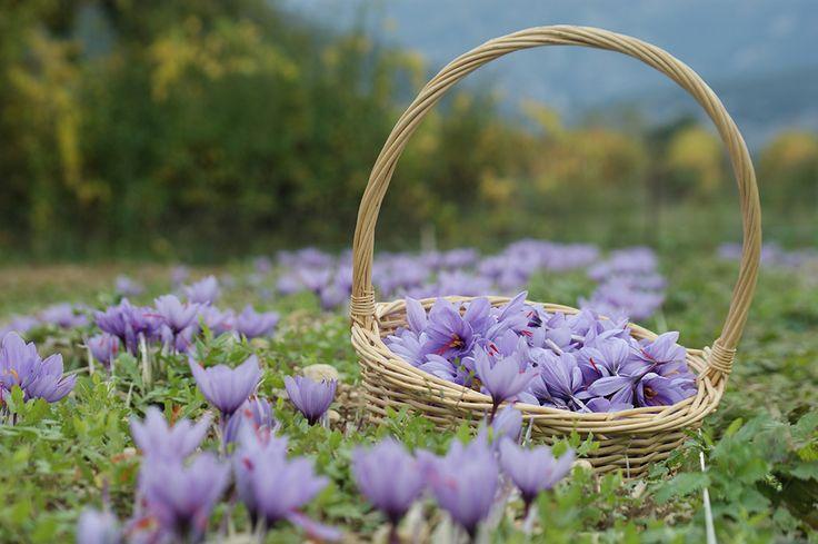 Entrechaux safran flower