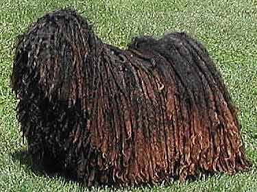Image result for dog with dreadlocks