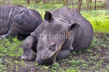 Rhinocéros Noir d'Afrique - Réserve de Bandia (Img.0577)