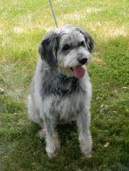 SHAGGY is an adoptable Irish Wolfhound Dog in LaGrange, KY. Meet SHAGGY ! He's a big, loveable mixed breed (we think there's some long-haired German Shepherd in there). He's 85 pounds and 7+ years old...