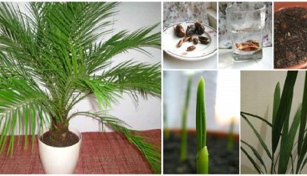 Como germinar semillas de palmera
