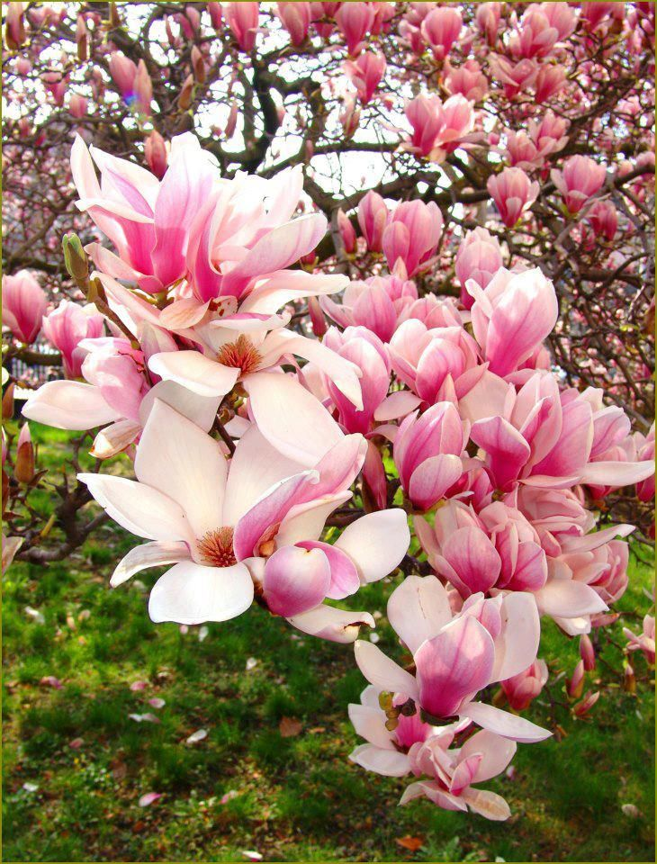 "Chinese Magnolia Tree or ""Tulip"" Tree, flowering trees, pretty trees, color and texture, landscape plans, spring will be here before you know it."