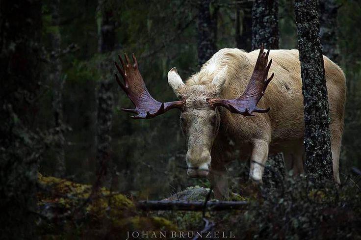 109 Best Animals Images On Pinterest: 25+ Best Ideas About Moose On Pinterest
