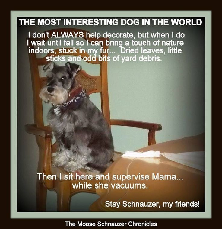 I Love My Dog Schnauzer Animal Lover T Shirt Design T: 645 Best Dogs: Schnauzers In Art Ads & Funnies Images On