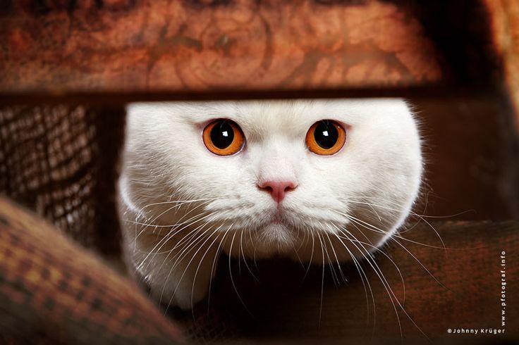British Shorthair cat in white - Weisse Britisch Kurhaarkatze - www.pfotograf.info