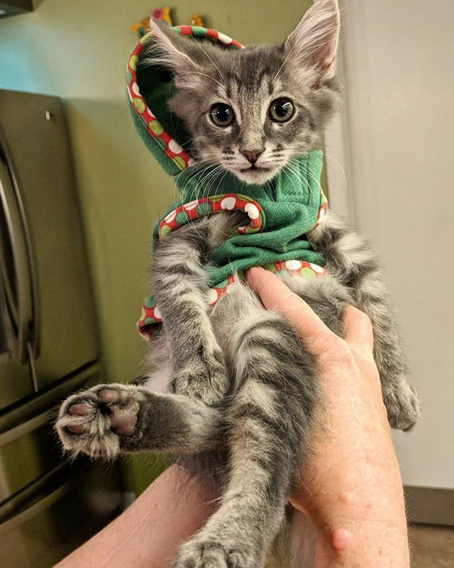Sherman Says She Neutered Me And Has Dressed Me Up In A Hoodie I Am So Ready For My Forever Home However A Disgruntled Animals Cats Christmas Animals