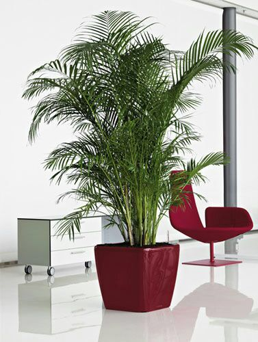 Indoor areka palm