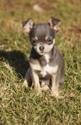 Applehead Dollface Chihuahua Puppies For Sale Mini Teacup