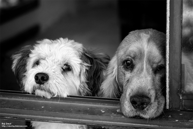 Dogs in Waiting by Raj Deut: Animal Expressions,  Dandy Dinmont Terriers, Animal Things, Raj Deutjpg, Dogs Dazed, Wait Version, Photo, Dogs Gon, Dogs Monochrome