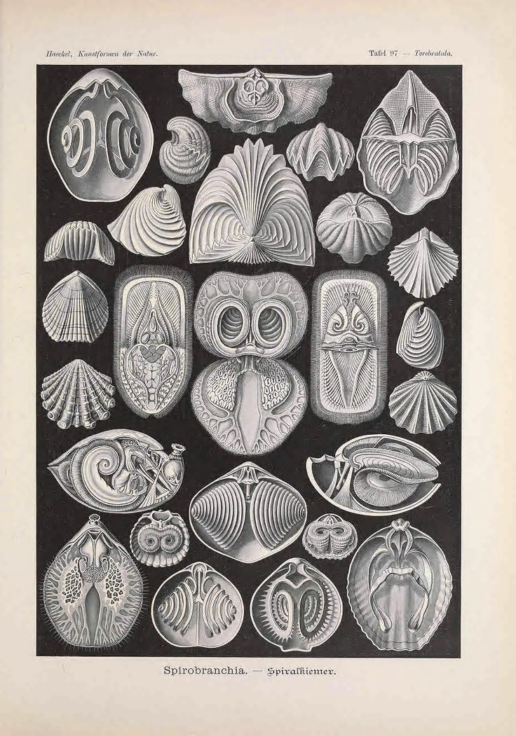 Created by Ernst Haeckel 1904