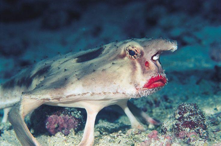 Red-lipped Batfish- Ogcocepahlus darwini
