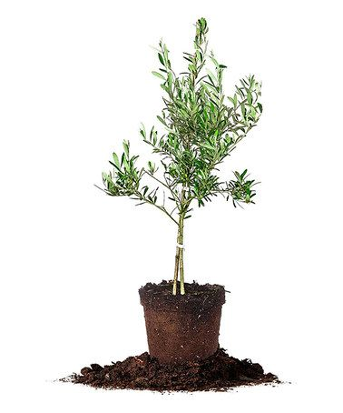 Look what I found on #zulily! Live Arbequina Olive Tree #zulilyfinds