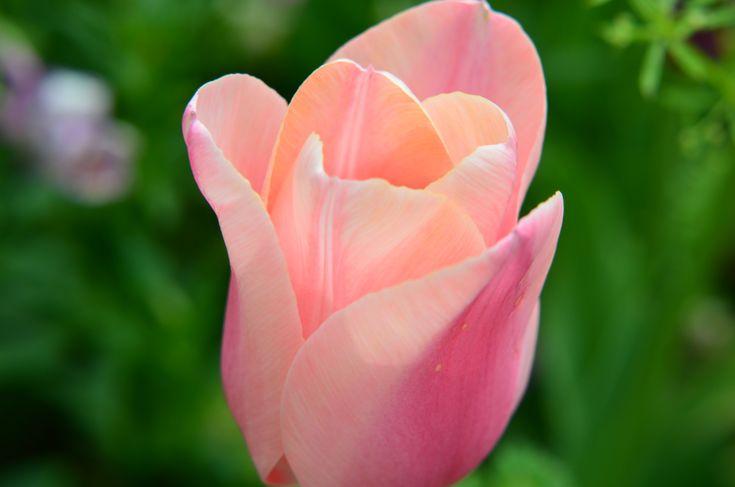 bunga tulips | Bunga Tulip Di Meijo Kouen (Taman Meijo) Di Kota Nagoya, Jepang ...